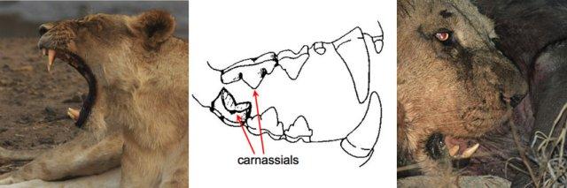 Lion Teeth Anatomy