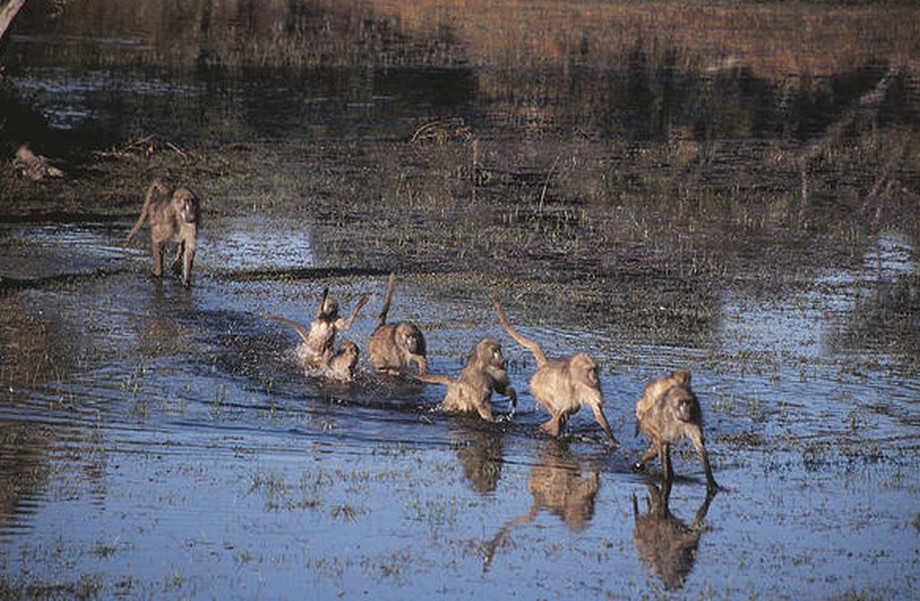 Baboons and Water