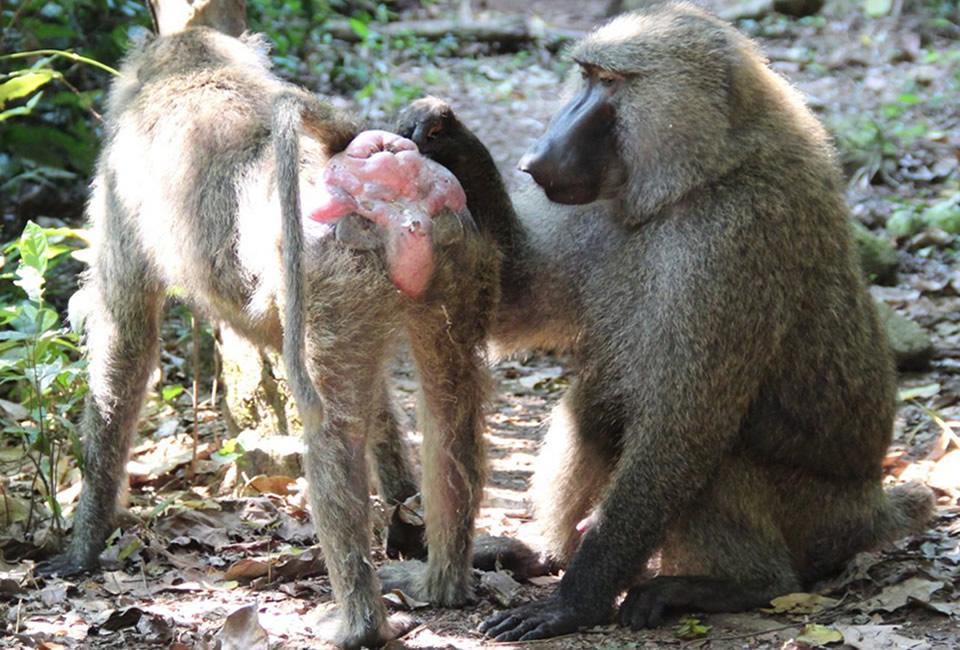 Baboon Sexuality