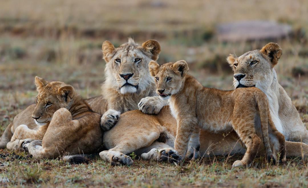 Pride of Lions in Masai Mara National Park
