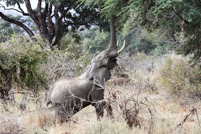Elephant at Oliver Camp